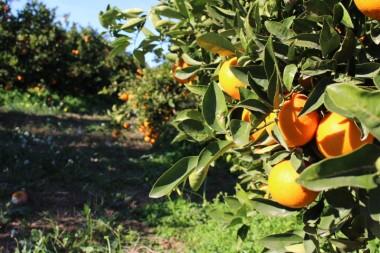 Naranjas-del-Turia-Directo-del-campo-7-Enero-2014-57